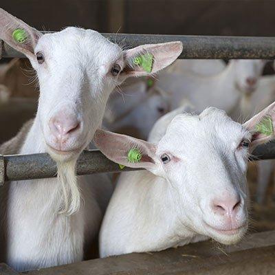 Samen Actief Dronten - geiten